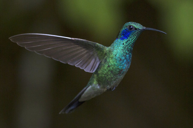 A Green Violetear is pictured at a Hummingbird feeding station on January 07, 2016 in Monteverde, Costa Rica. (Photo by Dan Kitwood/Getty Images)