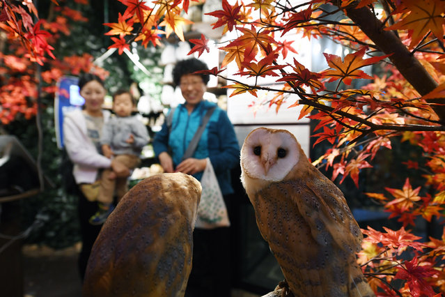 People view live owls at, Owl's Forest which is located on the bottom floor of a building along a bustling street in the Harajuku area on Friday November 04, 2016 in Tokyo, Japan. Visitors can pet owls at the business. It is located next to one of Tokyo's many cat cafes. (Photo by Matt McClain/The Washington Post)