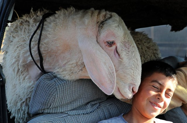"""A Palestinian boy reacts to a sheep at a livestock market ahead of the Eid al-Adha (feast of sacrifice) in Hebron in the occupied West Bank on July 16, 2021. Known as the """"big"""" festival, Eid Al-Adha is celebrated each year by Muslims sacrificing various animals according to religious traditions. (Photo by Mosab Shawer/AFP Photo)"""