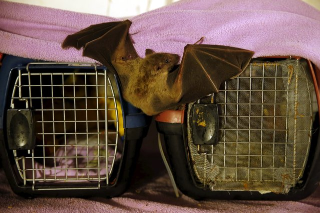 An injured Egyptian fruit bat perches next to cages at the home of Israeli woman, Nora Lifschitz, 28, in Tel Aviv February 22, 2016. (Photo by Baz Ratner/Reuters)
