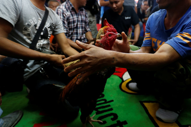 Men prepare roosters before the fight during an event organised to celebrate the Lunar New Year and the year of the Rooster on the outskirts Bangkok, Thailand January 29, 2017. (Photo by Jorge Silva/Reuters)