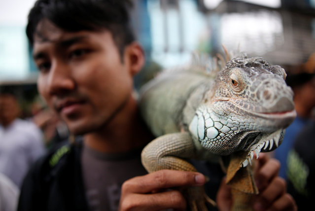A member of a reptile club holds an iguana during a gathering on a car-free day in central Jakarta, Indonesia February 5, 2017. (Photo by Darren Whiteside/Reuters)