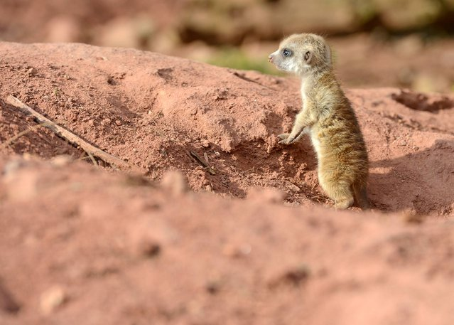 A meerkat cub looks around during its first steps in the outdoor enclosure at the zoo in Erfurt, Germany, Wednesday, March 19, 2014. Three meerkat babies were born on February 21, 2014 at the zoo. (Photo by Jens Meyer/AP Photo)