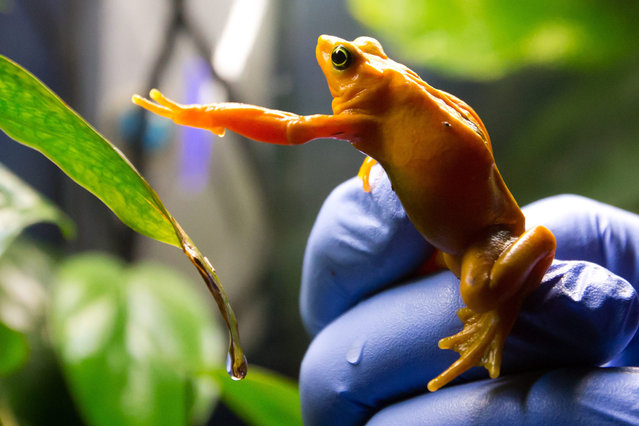 Vancouver Aquarium director of animal operations Dr. Dennis Thoney holds a Panamanian golden frog at the aquarium in Vancouver, British Columbia, on Thursday March 27, 2014. The aquarium has successfully bred the frogs, thought to be extinct in the wild, as part of a worldwide effort to preserve the species. (Photo by Darryl Dyck/AP Photo/The Canadian Press)