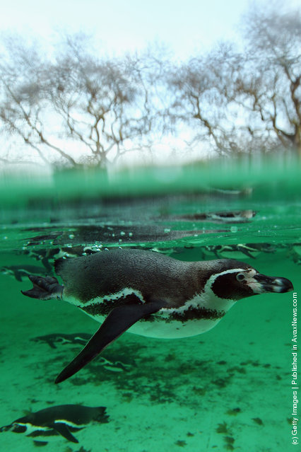 A penguin swims in its enclosure during a photocall to promote London Zoo's annual stock take of animals