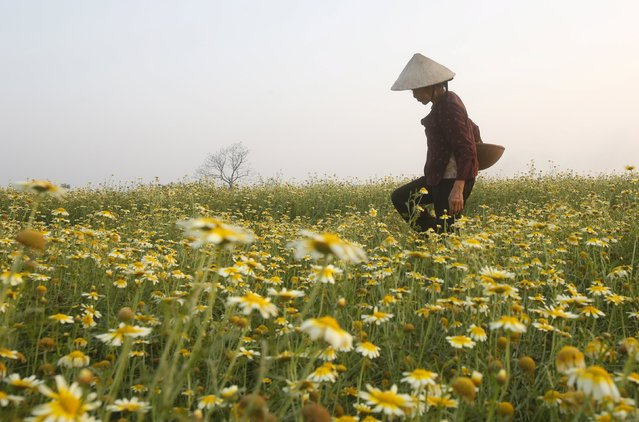 A farmer works in a field of blossoming cabbage plants in Xuan Son village, outside Hanoi, Vietnam February 13, 2016. (Photo by Reuters/Kham)