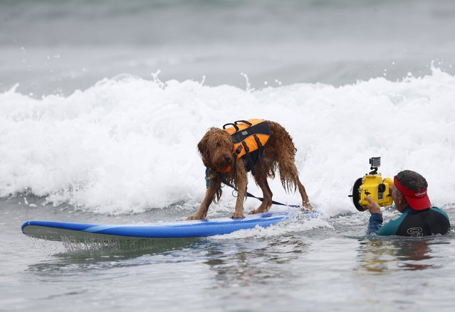 A Labradoodle mugs for a surf photographer as he competes in the 10th annual Petco Unleashed surfing dog contest at Imperial Beach, California August 1, 2015. Proceeds raised at the event go to benefit the San Diego Humane Society. (Photo by Mike Blake/Reuters)