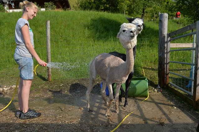 Freshly shorn alpaca takes a shower as Melanie Vitztum sprays water at Alpaca-Land farm in Unken in the Austrian province of Salzburg, Sunday July, 6, 2014. The annual shearing makes the animals more comfortable for the summer months. (Photo by Kerstin Joensson/AP Photo)
