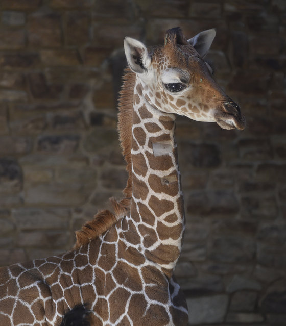 This June 28, 2017 photo provided by The Maryland Zoo shows a baby giraffe, Julius, in Baltimore. (Photo by Jeffrey F. Bill/The Maryland Zoo via AP Photo)