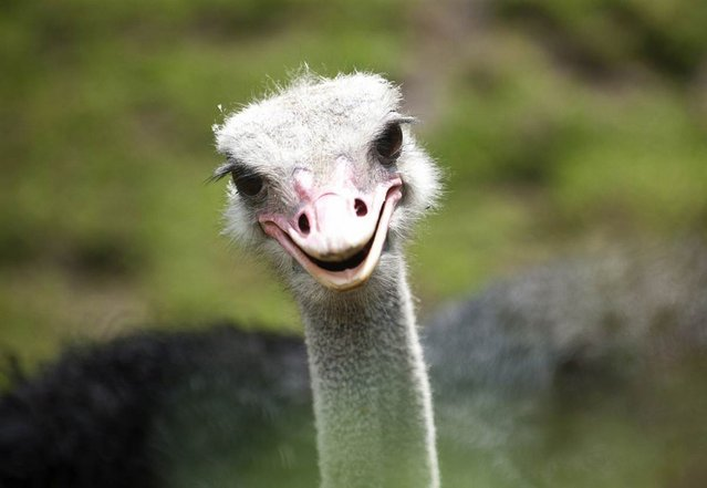 An ostrich stands in his enclosure in the zoo in Berlin on Friday, May 11, 2012