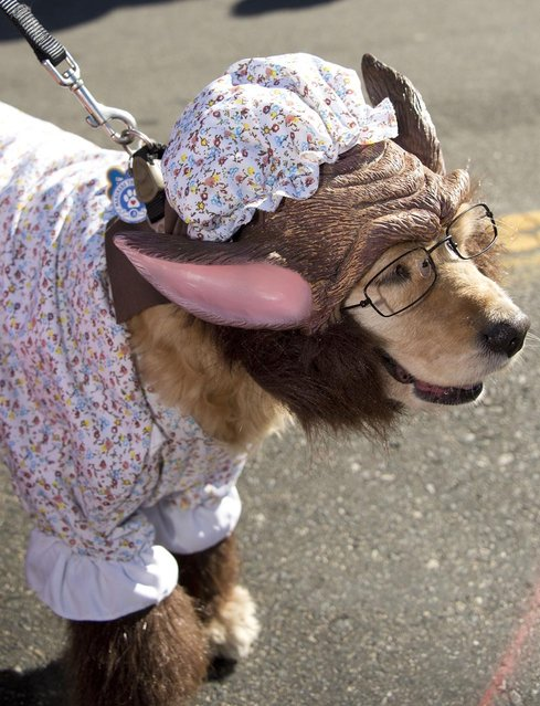 A dog dresses as the Wolf masquerading as Grandma from Little Red Riding Hood marches in a Halloween dog costume parade and contest in Long Beach, California, October 28, 2012. (Photo by Robyn Beck/AFP Pfoto)