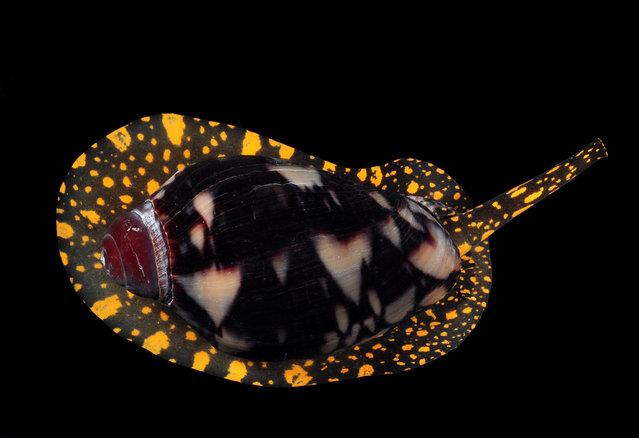 Noble volute (Cymbiola nobilis); Straits of Johore, October 2012. (Arthur Anker)