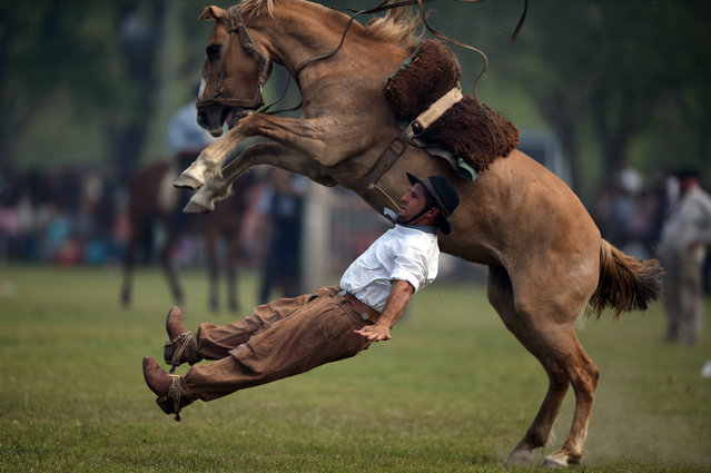 """A gaucho falls from a colt at a rodeo exhibition during during """"Tradition Day"""" in San Antonio de Areco, Argentina, on November 8, 2015. The celebration aims to preserve gaucho traditions. (Photo by Eitan Abramovich/AFP Photo)"""