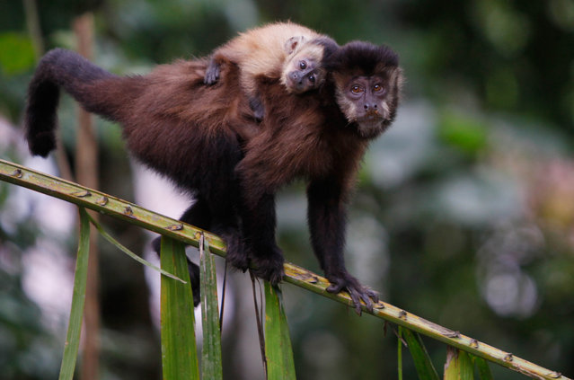 In this January 3, 2015 photo, a monkey carries her cub inside Machia Park in Villa Tunari in Bolivia's department of Cochabamba. Machia Park is a state park that serves as a refuge for wildlife, and is the beginning of Bolivia's section of the Amazon rainforest. (Photo by Juan Karita/AP Photo)