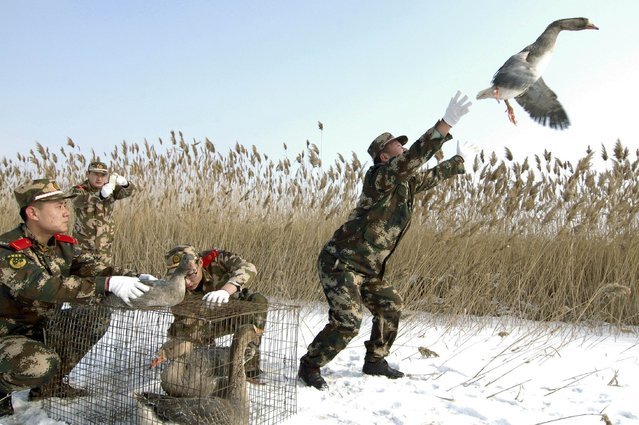 A paramilitary policeman releases a wild goose in Linghai, Liaoning province, January 20, 2015. About eight wild geese, which were found injured, were set free after having their wounds treated by a team of paramilitary policemen, according to local media. (Photo by Reuters/China Daily)