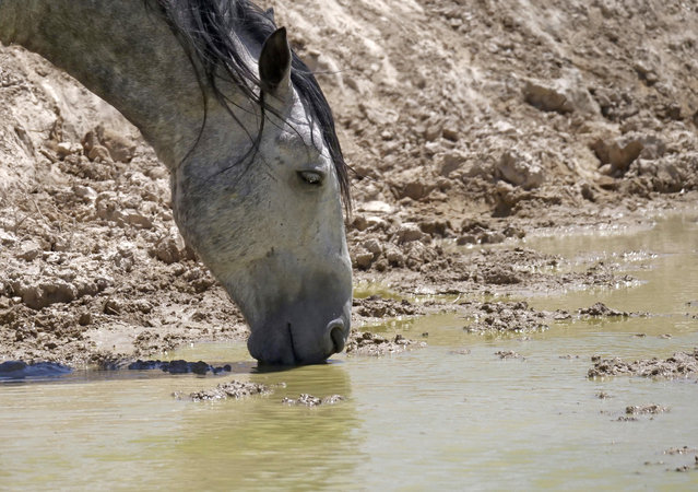 In this June 29, 2018 photo, a wild horse drinks from a watering hole outside Salt Lake City. (Photo by Rick Bowmer/AP Photo)