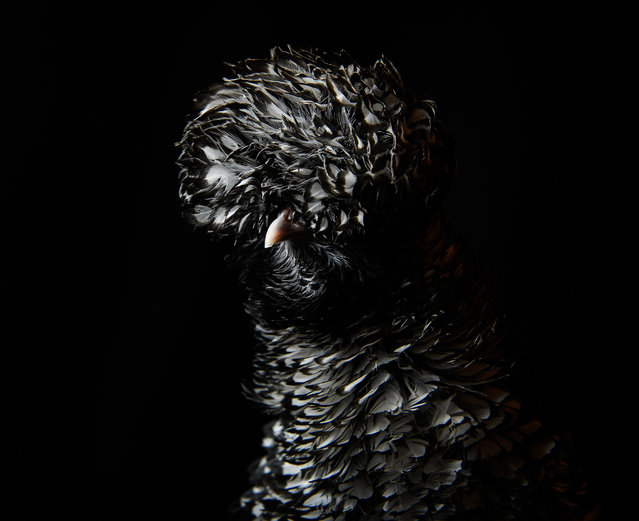 A Polish Silver-laced Frizzle is seen at the National Poultry Show on November 20, 2016 in Telford, England. (Photo by Leon Neal/Getty Images)