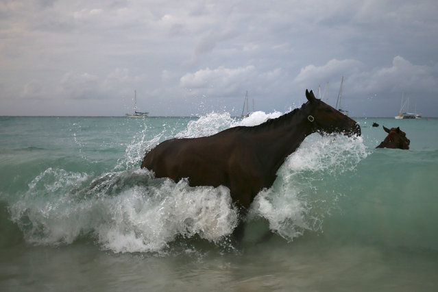 A horse from the Garrison Savannah is hit by a wave as it baths in the Caribbean Sea near Bridgetown, Barbados November 29, 2016. (Photo by Adrees Latif/Reuters)