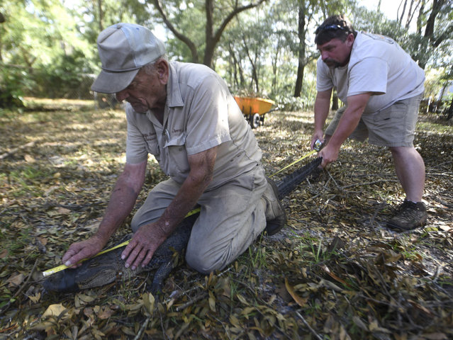 Jimmy English, left, and Bubba English with Wildlife Removal Service measure a five and a half foot alligator that was found under a house off Shipyard Blvd. in Wilmington N.C., Sunday, September 23, 2018. English said that it's not unusual to find alligators that have become disoriented after a major storm. He expects to see more when all of the waters recede. (Photo by Matt Born/The Star-News via AP Photo)