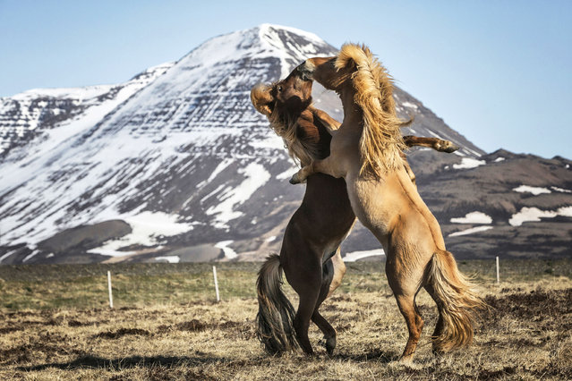 Two horses hug while they play with each other. (Photo by Bragi J. Ingibergsson/Caters News)