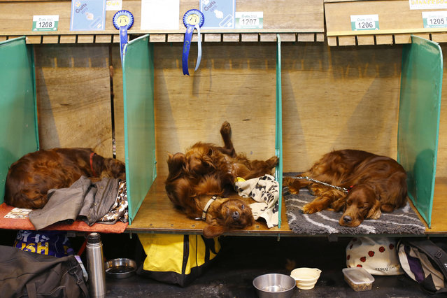 Irish Setters rest on their benches during the first day of the Crufts Dog Show in Birmingham, central England, March 5, 2015. (REUTERS/Darren Staples)