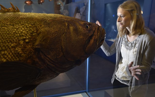 Museum employee Victoria views a giant grouper fish specimen at the Natural History Museum in west London March 25, 2015. (Photo by Toby Melville/Reuters)