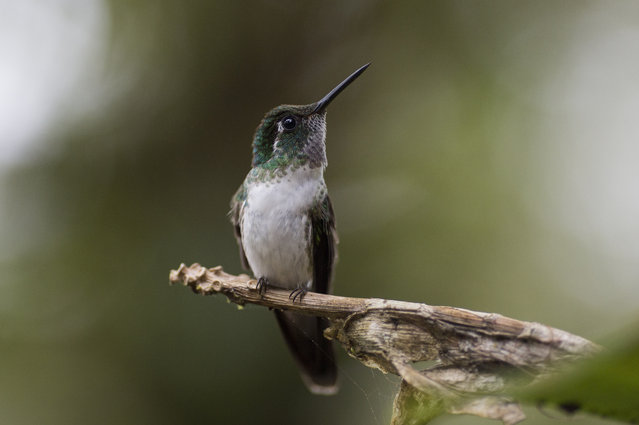 A White Bellied Mountain Gem is pictured resting near a Hummingbird feeding station on January 15, 2016 in Alajuela, Costa Rica. (Photo by Dan Kitwood/Getty Images)
