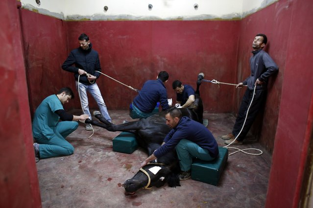 A racehorse undergoes castration at Veliefendi equine hospital in Istanbul March 30, 2015. (Photo by Murad Sezer/Reuters)