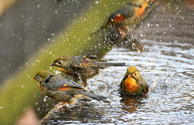 Red-billed leiothrix, songbirds also known as Pekin nightingales, take turns to bathe in a pool of water in Yichang, China on February 5, 2019. (Photo by Liu Shusong/Xinhua News Agency/Barcroft Images)