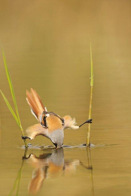 Bearded Tit Bird By Edwin Kats