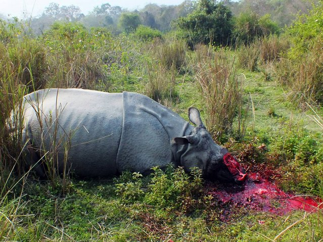 The body of a rhinoceros, which was killed and de-horned by poachers, lies on the ground in India's Burapahar range of Kaziranga, some 250 kms east of Guwahati, on February 24, 2014. Seven one-horned rhinoceroses have been killed in the area in 2014. (Photo by Anuwar Hazarika/AFP Photo)