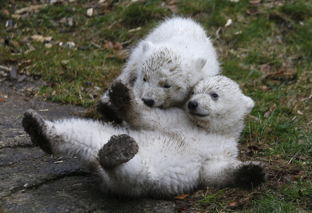Twin polar bear cubs play outside in their enclosure at Tierpark Hellabrunn in Munich, March 19, 2014.  The 14 week-old cubs born to mother Giovanna and who have yet to be named, made their first public appearance on Wednesday. (Photo by Michael Dalder/Reuters)