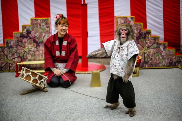 A monkey poses after a performance in front of spectators at a shrine in Tokyo, on March 26, 2014. (Photo by Eugene Hoshiko/Associated Press)