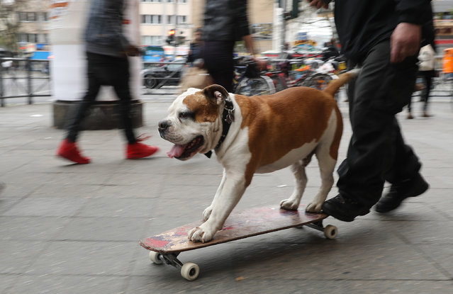 A dog, at the behest of his owner, rides a skatebaord on April 3, 2017 in Berlin, Germany. The dog's owner, who looked like he might be homeless, coaxed the dog to ride the skatebaord and asked passersby who stopped to watch for money. (Photo by Sean Gallup/Getty Images)