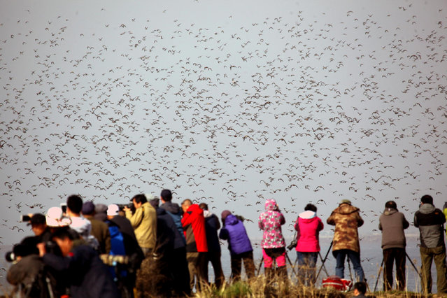 People take photos of a flock of snipes flying above the Yalu River, in Dandong, Liaoning province, China, April 23, 2016. (Photo by Reuters/China Daily)
