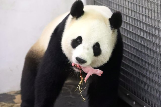 An undated handout image provided by Pairi Daiza on 02 June 2016 shows Giant Panda mother Hao Hao holding her newborn cub in her mouth at the Pairi Daiza zoo in Brugelette, Belgium. Belgium is reportedly only the third country in Europe where a panda baby has been born. The Belgian zoo was help by the Chinese experts. Giant panda bears are an endangered species. According to estimate, only 2,000 are left in the wild. (Photo by Benoit Bouchez/EPA/Pairi Daiza)