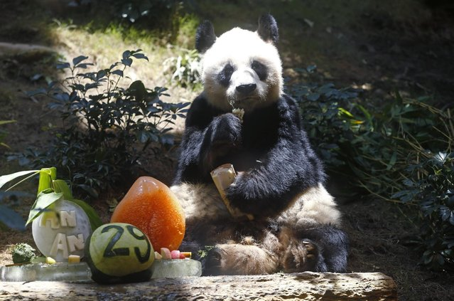Chinese Giant panda An An eats bamboo next to his birthday cake made with ice and vegetables at Ocean Park in Hong Kong, Tuesday, July 28, 2015 as he celebrates his 29th birthday. (Photo by Kin Cheung/AP Photo)