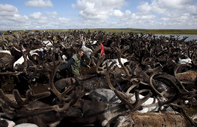 Herders work with reindeer at a camping ground, some 200 km (124 miles) northeast of Naryan-Mar, the administrative centre of Nenets Autonomous Area, far northern Russia, August 2, 2015. (Photo by Sergei Karpukhin/Reuters)