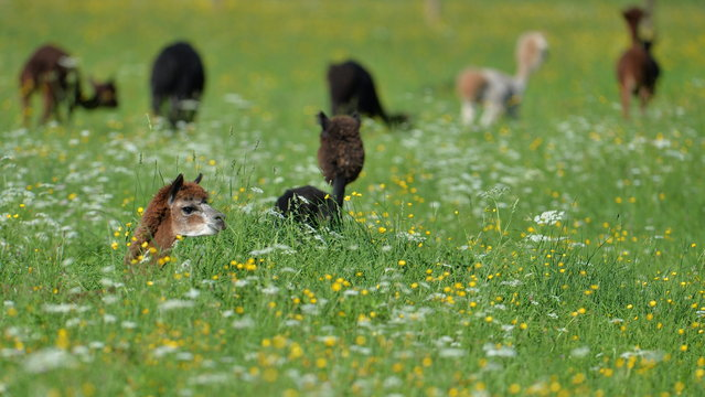 An alpaca peers out of grassland covered with wild flowers at Alpaca-Land farm in Unken in the Austrian province of Salzburg, Sunday July, 6, 2014. The annual shearing makes the animals more comfortable for the summer months. (Photo by Kerstin Joensson/AP Photo)