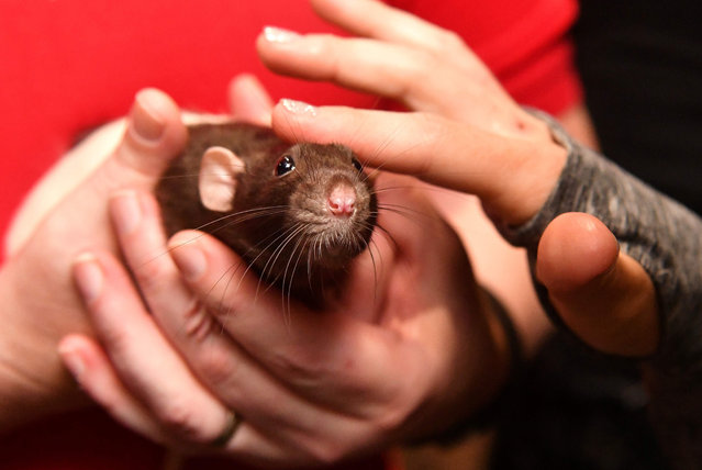 Sprout the rat looks on while being pet during a popup Rat Cafe at the San Francisco Dungeon in San Francisco, California on July 1, 2017. The San Francisco Dungeon, a tourist attraction where actors reenact the region's history, will host a pop- up rat cafe for two days this summer, July 1 and 7. Charlotte was saved from being eaten by a snake at a pet store before being adopted by Rattie Ratz. (Photo by Josh Edelson/AFP Photo)