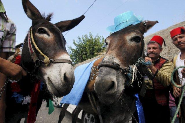 Men prepare donkeys during a donkey race in Roum village, Jizeen countryside, southern Lebanon, August 9, 2015. (Photo by Ali Hashisho/Reuters)
