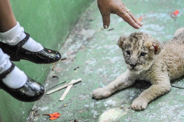Lion cub, Cuba, 2008. (Photo by Jo-Anne McArthur/Born Free Foundation/The Guardian)