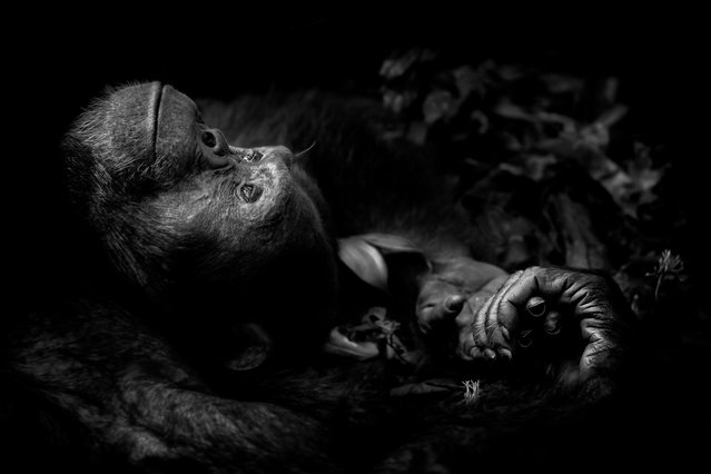 Animal Portraits category. Contemplation by Peter Delaney, Ireland/South Africa. Peter had spent a long, difficult morning tracking chimpanzees – part of a troop of some 250 – through Uganda's Kibale national park. Totti was busy with vigorous courtship, pacing and gesticulating for a female in the canopy. It was only when he finally flopped down, worn out with unrequited love, that Peter had his chance. (Photo by Peter Delaney/Wildlife Photographer of the Year 2017)