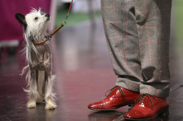 Hippie, a kind of nearly-hairless dog called a Chinese Crested, stands next to its owner at the pet trade fair (Heimtiermesse) at Velodrom on November 2, 2012 in Berlin, Germany. Exhibitors are showing the latest trends in collars, snacks and other accessories for cats, dogs and other household pets.  (Photo by Sean Gallup)