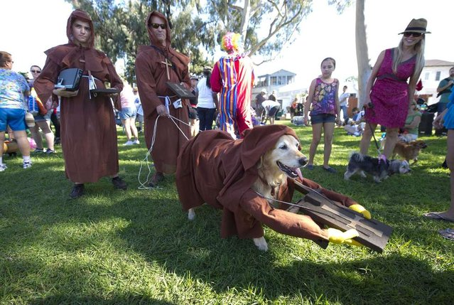 """""""Cupcake"""", a golden retriever, portrays a sign from the movie """"Monty Python and the Holy Grail"""", at a Halloween dog costume parade and contest in Long Beach, California, October 28, 2012. (Photo by Robyn Beck/AFP Pfoto)"""
