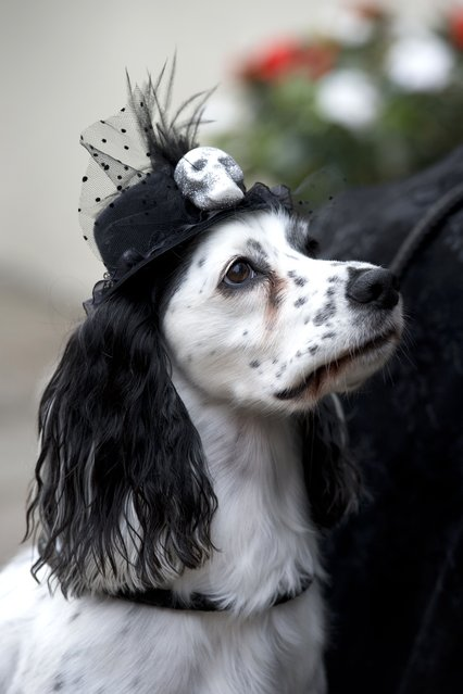 "A dog wearing a gothic hat is pictured during the biannual ""Whitby Goth Weekend"" (WGW) festival in Whitby, Northern England, on November 2, 2014. (Photo by Oli Scarff/AFP Photo)"