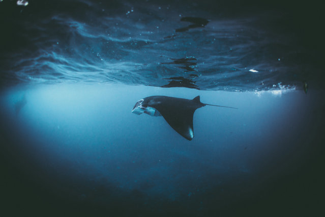 A manta ray swimming in the Indian ocean, Indonesia. (Photo by Daniel Hunter/Sony World Photography Awards)