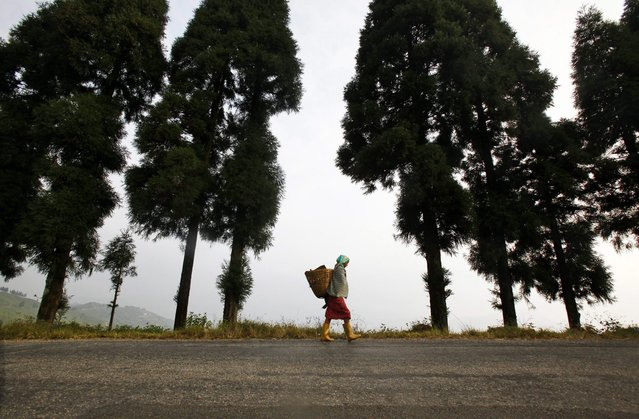 In this November 16, 2014 photo, a Nepalese woman walks towards a tea garden at Kanyam in Illam district, some 500 kilometers (310 miles) from Katmandu, Nepal. (Photo by Niranjan Shrestha/AP Photo)