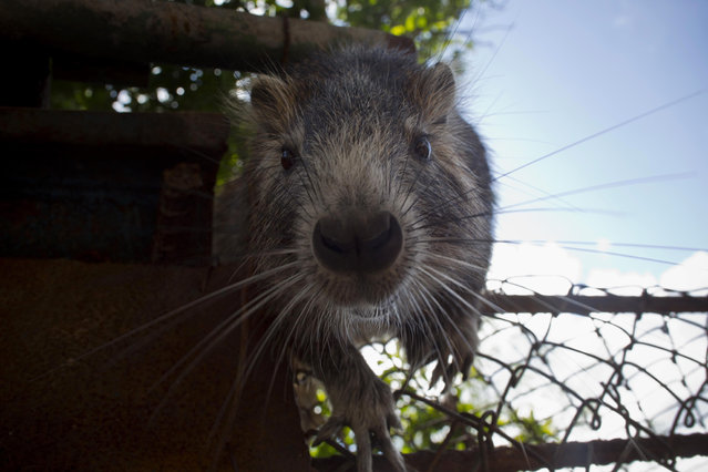 In this November 17, 2014 photo, Pancho, a domesticated huitia, confronts a camera, in Bainoa, Cuba. With their rope-like, dark tails, long front teeth, and whiskers that appear to be vibrating, huitias look like giant rats. They measure nearly a foot long (about 30 centimeters), with the largest ones weighing in bigger than a small dog. (Photo by Ramon Espinosa/AP Photo)
