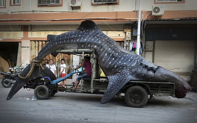 A fisherman transports a dead whale shark after it was caught in fishermen's nets, in Yangzhi county, Fujian province, in this August 1, 2014 file photo. (Photo by Reuters/Stringer)